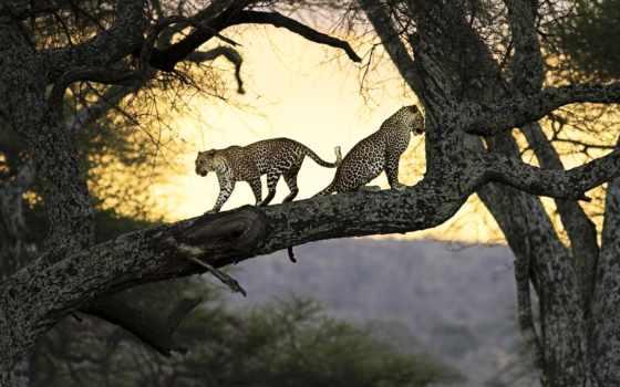 леопард, дерево, дереве, леопарды, leopards, art,