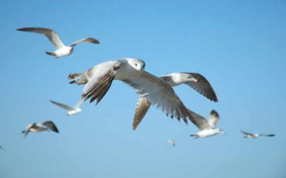птиц, стаи, голубые, heaven, серое, перья, овцы, летит, south, птицы,
