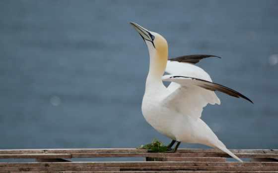 gannet, northern, abyss,