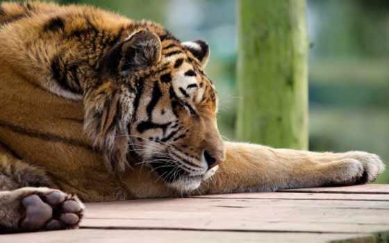 спит, тигр, кот, морда, лапы, рыжая, полосатая, детёныш, хищник,