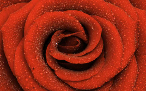 роза, зелёная, waters, каплях, цветы, розы, лепестки, cvety, оранжевая, flowers,