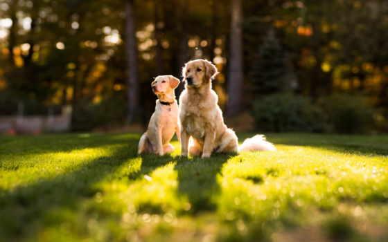 собаки, красивые, нравится, собака, retriever, pair, anime, кошки, золотистый, две, еда,