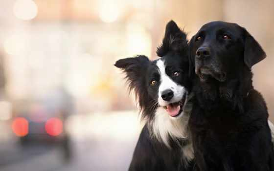 колли, border, собака, dogs, white, black, animal, cute,
