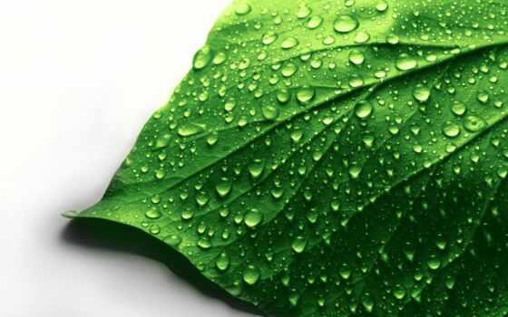 white, makryi, water, drop, лист, зелёный, poppy