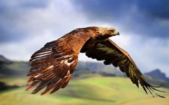 berkut, птица, орлан, prairie, природа, one, animal, след, aquila
