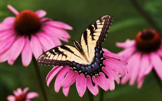 бабочка, бабочки
