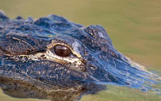 крокодила, глаз, крокодилы