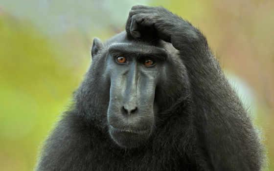 обезьяны, обезьяна, голову, чешет,