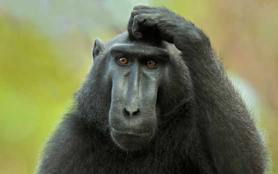 обезьяны, обезьяна, голову