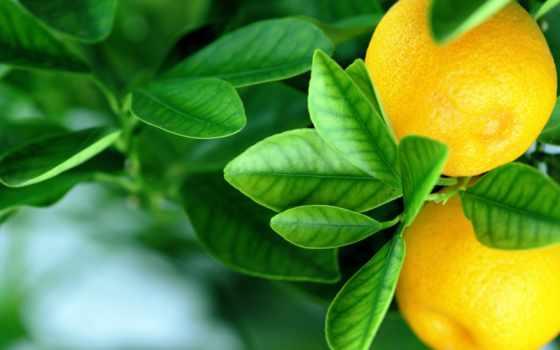 дерево, lemon, цитрус, листья, fruits, desktop, goodwp, flowers, плод,