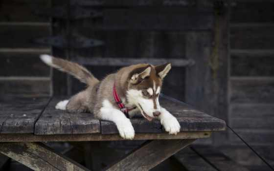 хаски, собака, морда, щенок, собаки, malamute, alaskan, iphone,