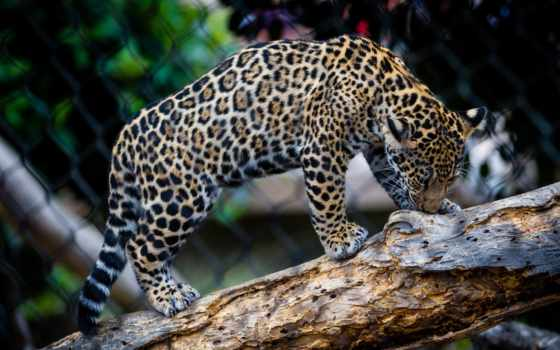леопард, full, фото, zhivotnye, free,