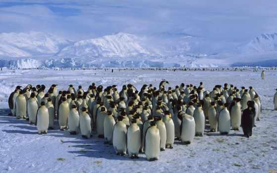 пингвинов, пингвины, антарктиде