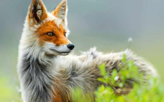 фокс, лиса, природа