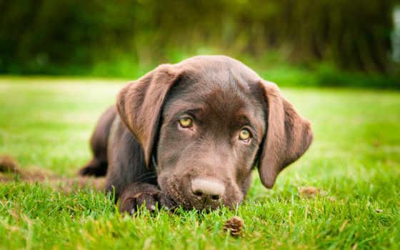 labrador, retriever, щенок, собака, браун, трава,