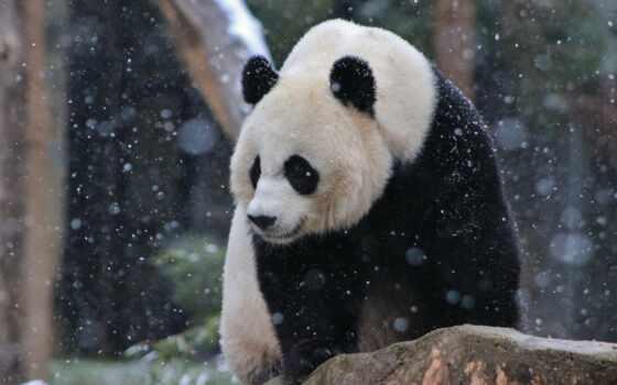 панда, гигант, national, xiang, медведь, zoo, ailuropoda, melanoleuca, семья, washington, one