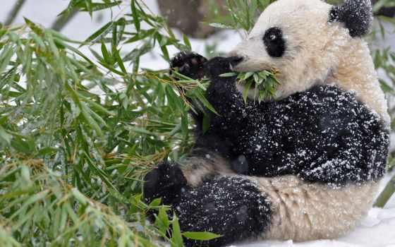 панда, бамбук, снег