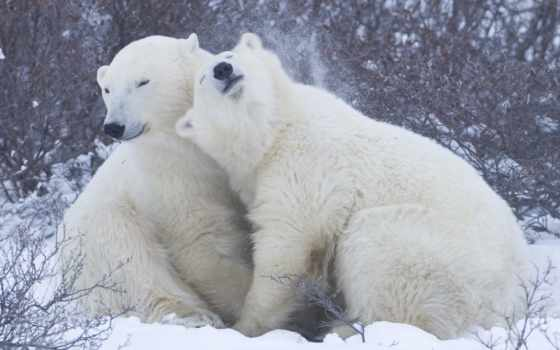 медведи, белые, медведь, bears, polar, zhivotnye, white, arctic,