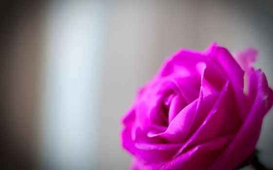 роза, сиреневая, cvety, вася, макро, нежность, алая, розы, меткой, фотографий, красная,