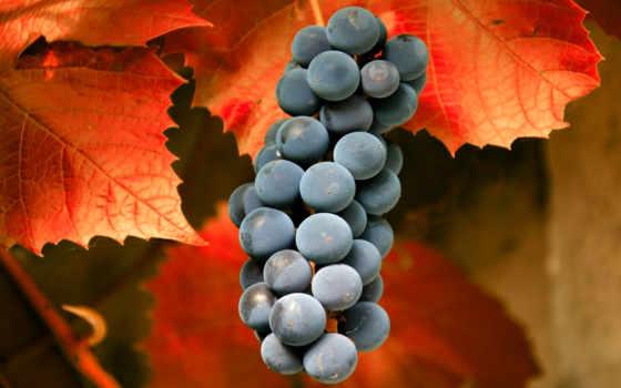 виноград, листва, осень, фрукты, скопление, ягоды,