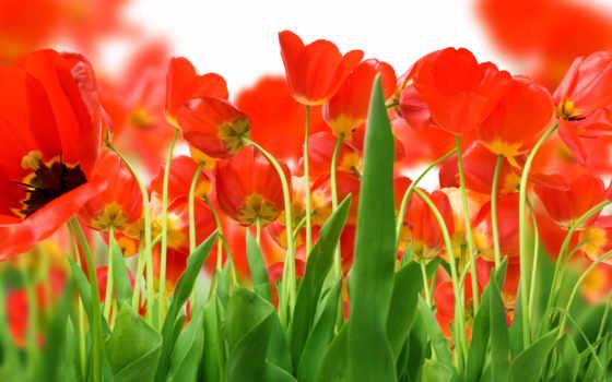 тюльпаны, cvety, красные, поле,