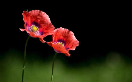 flowers, amapolas, poppies, pinterest, fondos, images, flores,