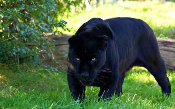 panther, пантеры, jaguar, хищник, красивые, черная, zhivotnye, охоте, кошки,