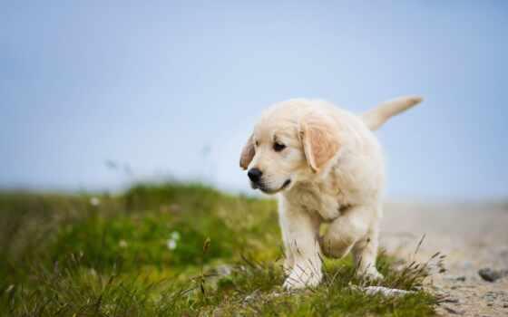retriever, золотистый, собака, щенок, cute, goldennyi