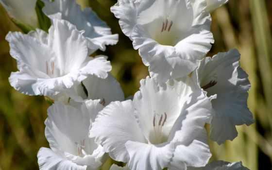 гладиолусы, flowers, white