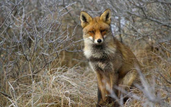 лиза, рыжая, лисица, фокс, трава, vzglyad,