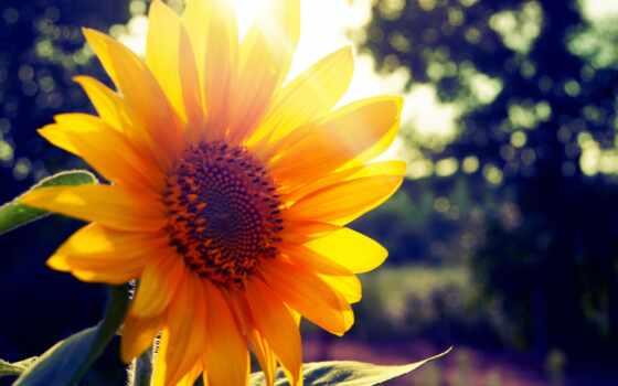 summer, sun, подсолнух