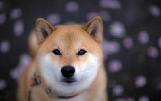 акита, shiba, собаки, собака, породы, собак,