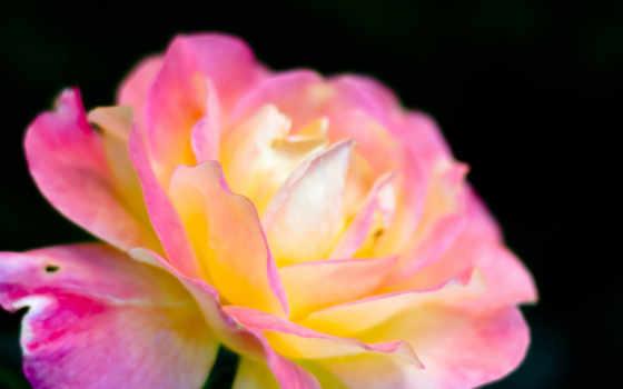 розовый, макро
