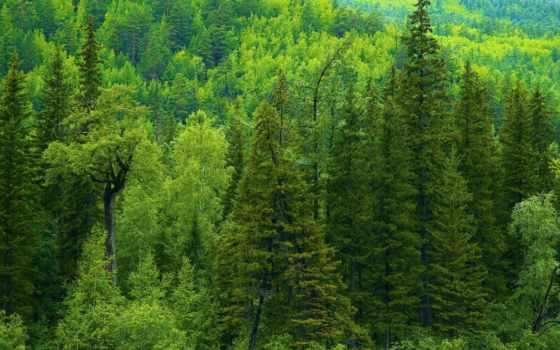 лес, природа, trees, taiga, eli, зелёный, страница, russian,