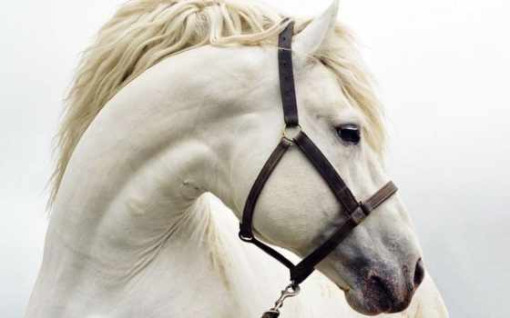 white, wallpaper, horses, животные, лошади, hd, desktop, лошадь, wallpapers, you, animal, все,