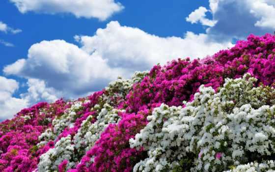 цветы, небо, oblaka, азалия, кусты,