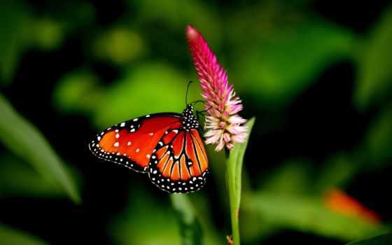 бабочка, красивые, качество, хорошего, качества, высокое, цветке, розовом, сидит, хороший,