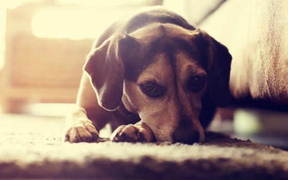 tapety, zwierzęta, pies, зе, zwierzętami, pin, zhivotnye, psy,