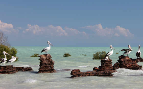 море, birds, high, pelican, птица,