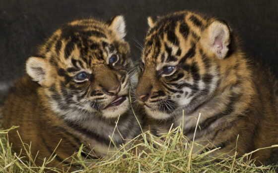 тигрята, кошки