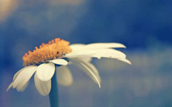 настроение, нежность, лето, ромашка, фото,