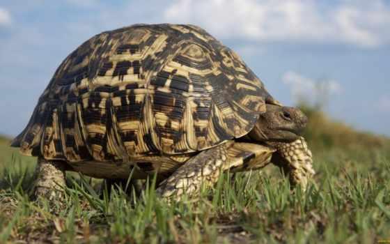черепаха, большая