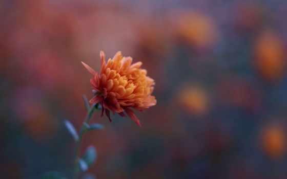 chrysanthemum, desktop, оранжевый