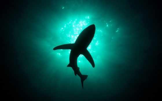 акула, силуэт, zhivotnye