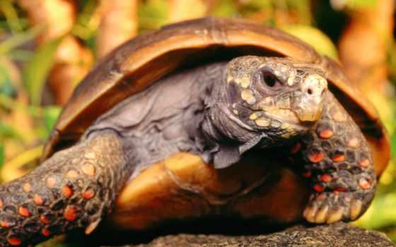 черепаха, черепахи, черепах, сухопутные,