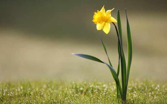 cvety, нарциссы, цветы, flowers, narcissuses, yellow, желтые, море,