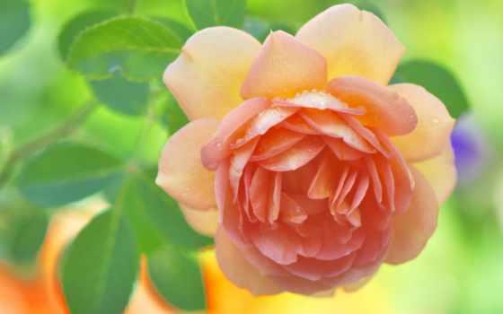 макро, roza, лепестки, роза,