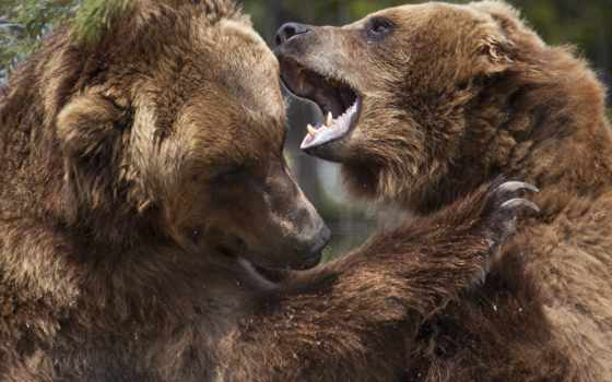 animals, bears, laugh, медведи, бурые,