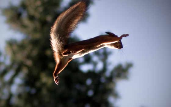 белка, летяга
