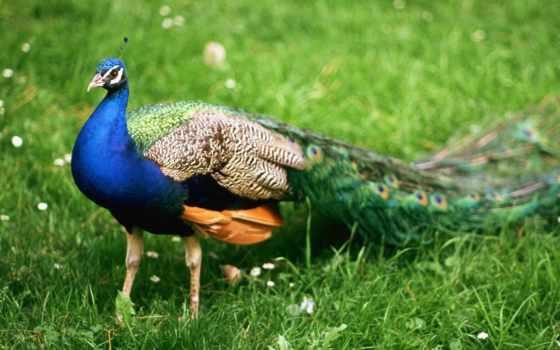 павлин, птицы, животные, самец, красавец, прогулка,